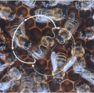 Arıların dansı