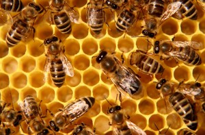 Arıların uyumu
